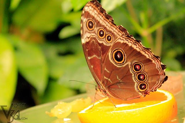 Blue-Morpho Butterfly