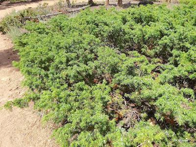 prostrate juniper, Juniperus communis var. depressa