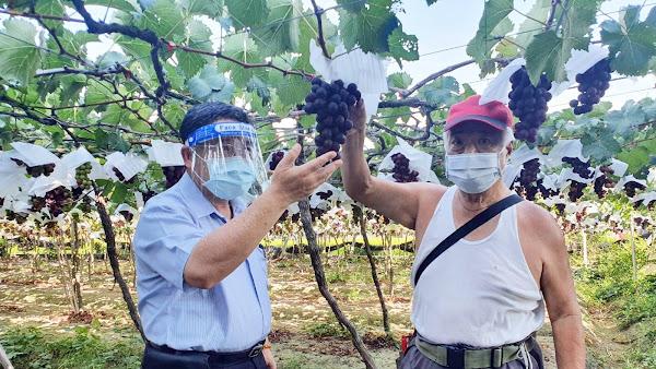 疫情影響彰化葡萄銷量 邱建富幫忙行銷巨峰葡萄