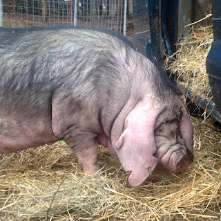 Meishan Pigs are the perfect small farm lard hog with the most excellent craft pork!