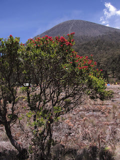 Pohon santigi gunung di alam