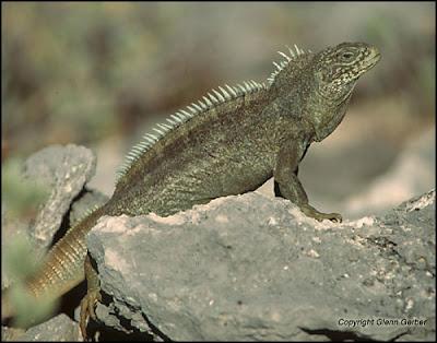 Bahamas rock Iguana