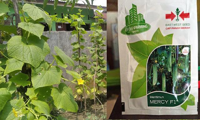Review Bibit Mentimun Mercy F1 Panah Merah Urban Farming