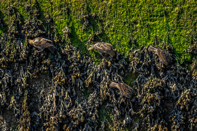 Photo of some of the flock of starlings that were feeding on the weed on the harbour wall