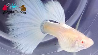Jenis ikan guppy albino