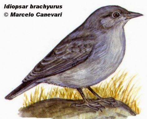 Yal grande, Idiopsar brachyurus