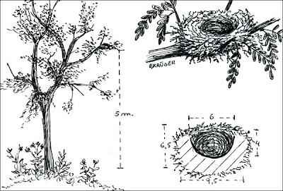 Fueguero común Piranga flava
