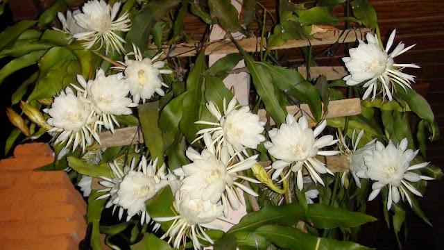 keistimewaan bunga wijaya kusuma