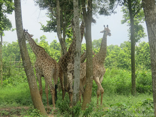Giraffe in Core Safari Park
