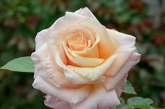 Barock сорт розы тантау фото купить саженцы Минск