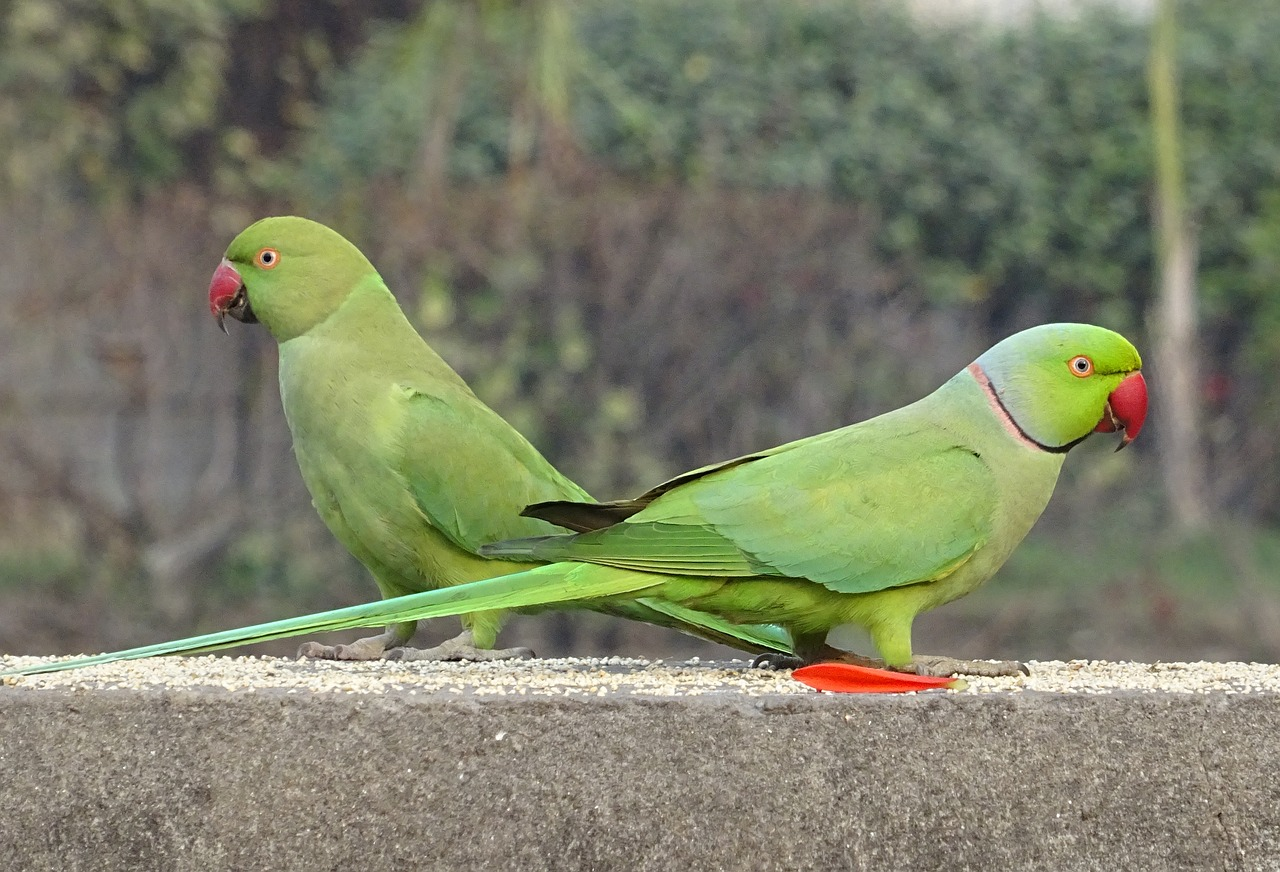 Image result for ringneck parrots information""