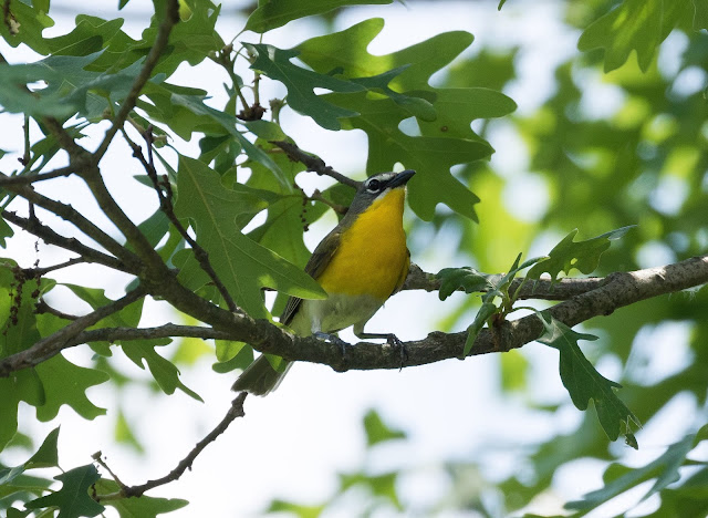 Yellow-breasted Chat - Oak Openings Preserve, Ohio, USA