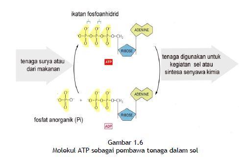 Molekul ATP sebagai pembawa tenaga dalam sel