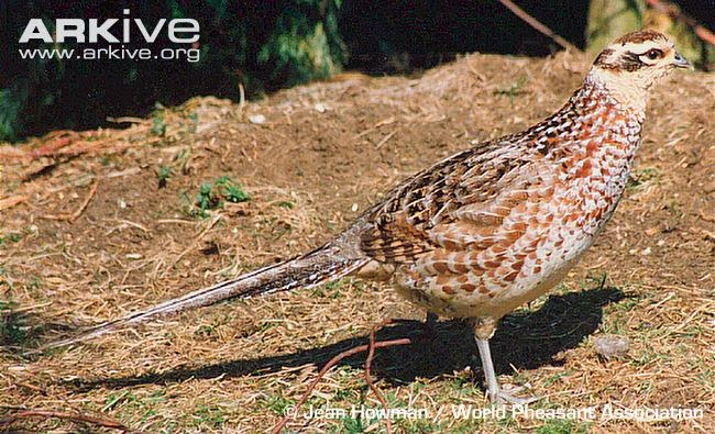 Revee´s Pheasant