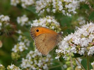Schmetterling an Oreganoblüte im Garten