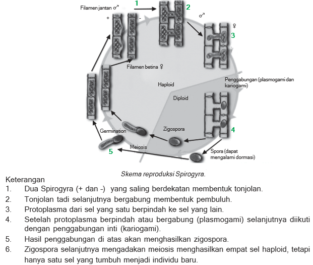 reproduksi Spirogyra