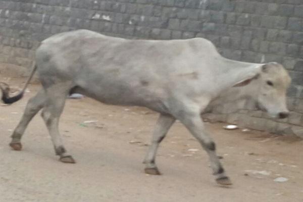 एक अप्रैल से होगी पशुओं की नसबंदी, हरियाणा में अब आसानी से नहीं आ पाएंगे बाहर के पशु
