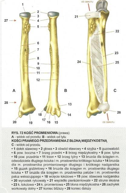 kość promieniowa