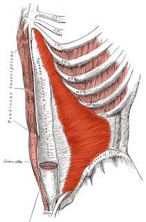 The transverse abdominus 'corset' abdominal muscle