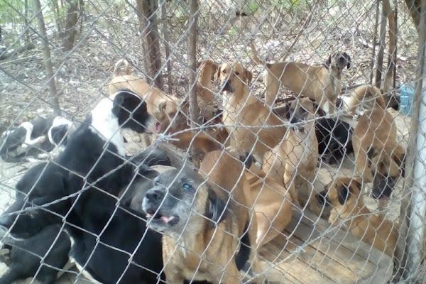 Desmantelan criadero de perros para vender por carne en San Cristóbal