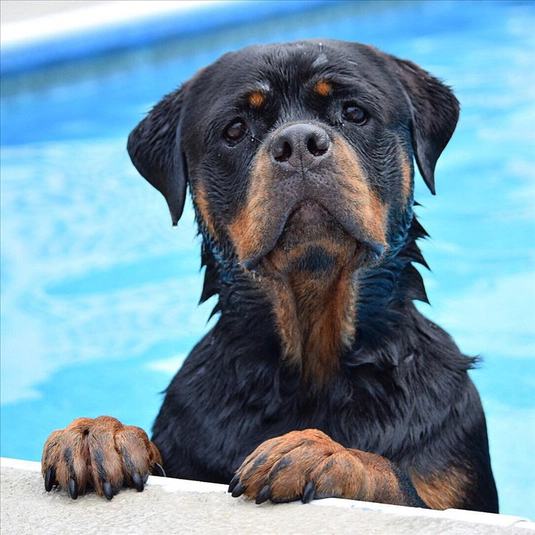 Rottweilers 08