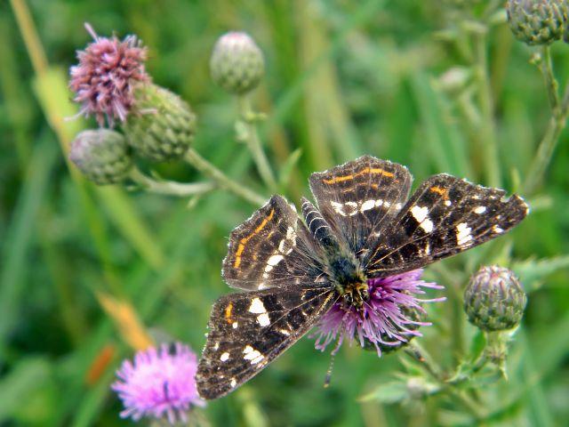 polskie motyle, łąka, owady