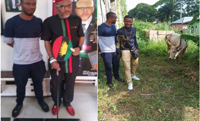 (Photos) IPOB supporters donate Cow allegedly named 'Buhari' to Nnamdi Kanu