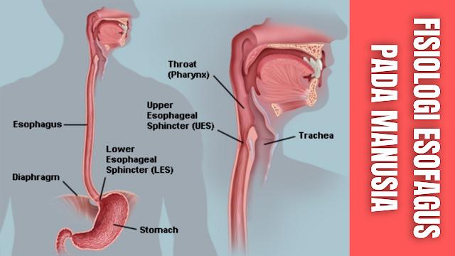 Fisiologi Esofagus Pada Manusia Esofagus Merupakan saluran yang menghubungkan tekak dengan lambung, panjangnya sekitar 9 sampai dengan 25 cm dengan diameter sekitar 2,54 cm, mulai dari faring sampai pintu masuk kardiak di bawah lambung.   Esofagus berawal pada area laringofaring, melewati diafragma dan hiatus esofagus. Esofagus terletak di belakang trakea dan di depan tulang punggung setelah melalui torak menembus diafragma masuk ke dalam abdomen menyambung dengan lambung.  Lapisan terdiri dari empat lapis yaitu mucosa, submucosa, otot (longitudinal dan sirkuler), dan jaringan ikat renggang. Makanan atau bolus berjalan dalam esofagus karena gerakan peristaltik, yang berlangsung hanya beberapa detik saja.  Begitu makanan memasukibagian atas esofagus, makananmakanan berjalan melalui sfingter esofagus bagian atas, yang merupakan otot sirkular, yang mencegah udara memasuki esofagus dan makanan mengalami refluks (bergerak ke belakang) kembali ke tenggorok.   Bolus makanan menelusuri esofagus yang panjangnya kira-kira 25 cm. Makanan didorong oleh gerakan peristaltik lambat yang di hasilkan oleh kontraksi involunter dan relaksasi otot halus secara bergantian. Pada saat bagian esofagus berkontraksi diatas bolus makanan, otot sirkular di bawah (atau di depan) bolus berelaksasi.   Kontraksi-relaksasi otot halus yang saling bergantian ini mendorong makanan menuju gelombang berikutnya.Dalam 15 detik, bolus makanan bergerak menuruni esofagus dan mencapai sfingter esofagus bagian bawah.   Sfingter esofagus bagian bawah terletak diantara esofagus dan lambung. Faktor-faktor yang mempengaruhi tekanan sfingter esofagus bagian bawah meliputi antasid, yang meminimalkan refluks, dan nikotin serta makanan berlemak, yang meningkatkan refluk.    Nah itu dia bahasan dari fisiologi esofagus pada manusia, melalui bahasan di atas bisa diketahui mengenai fisiologi esofagus pada manusia. Mungkin hanya itu yang bisa disampaikan di dalam artikel ini, mohon maaf bila terjadi kesalahan di dalam penu