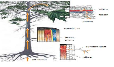 Sistem Transportasi Pada Tumbuhan Lengkap