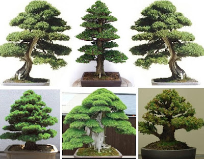 Home Garden Tree-Plant Seeds: Egrow Canopy-like Umbrella Planting Seeds - Cedar Semillas Bonsai Plants for Beautifying Your Environs