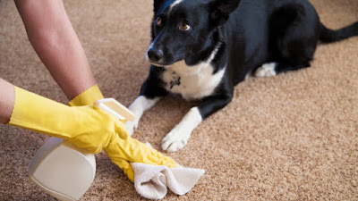 Spraying the carpet to remove dog urine stain