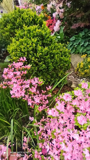 Azalie i rododendrony - inspiracje, zdjęcia