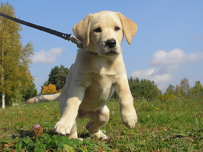 Cream Labrador Retriever puppy pulling on his leash and being reactive