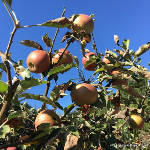 red apples at Elizabeth F. Gamble Garden in Palo Alto, California