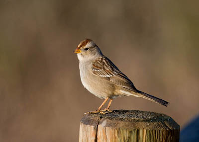 Photo of immature White-crowned Sparrow on post