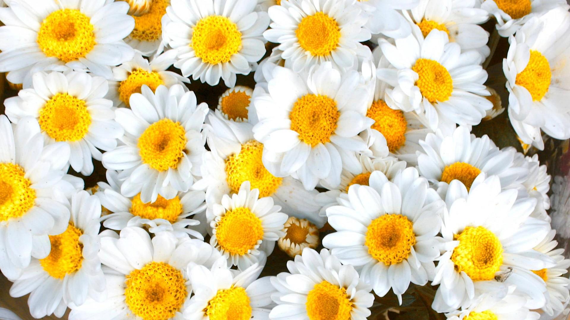 daisy yellow-white petaled flowers HD Wallpaper