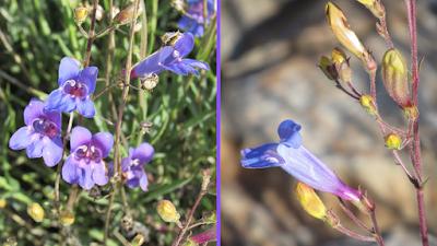 Hat Creek Rim Overlook Wildflowers 🎕 Old Station, California