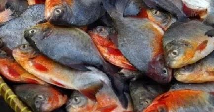 Situ Pajaten Umpan Ampuh Ikan Bawal 100 Terbukti Ampuh