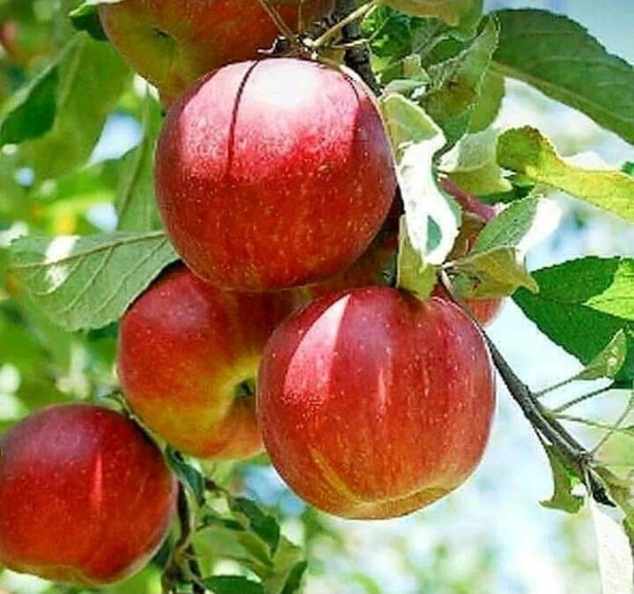 bibit buah apel anna asli Riau