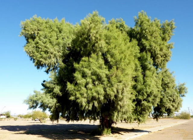 tamarisk plant leaves useful in leucoderma nose trouble