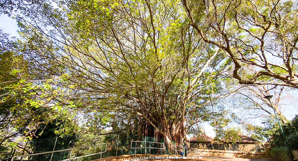 Moreton Bay Fig, Champion Tree, South Africa, UCT Upper Campus, Kindergarten Giant, Cape Town, Alex Aitkenhead, Majestic Trees, Southern Africa, ficus macrophylla, Moraceae, Australian banyan