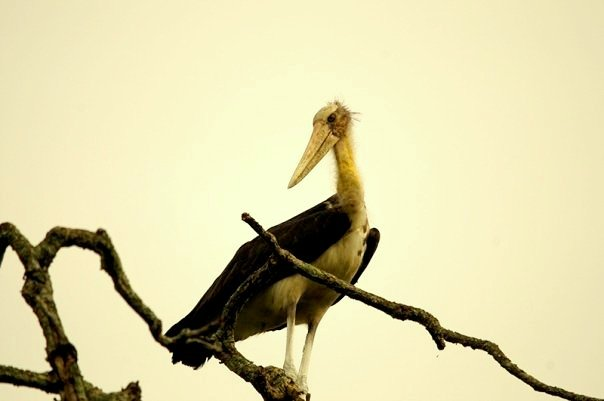A stork at Kaziranga National Park (photo - Nassif Ahmed)