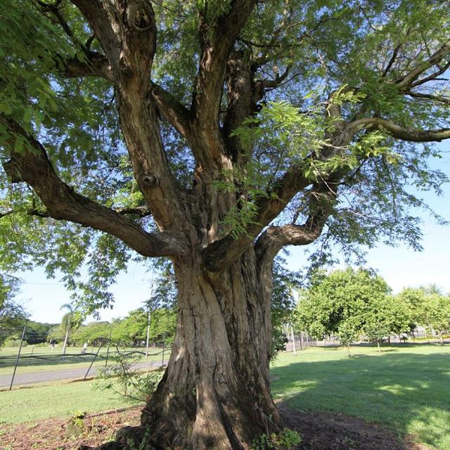 Pohon asam di Darwin, Australia
