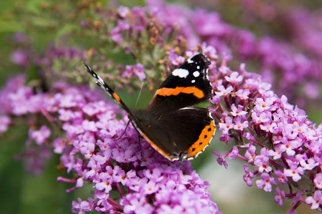 Schmetterling, Butterfly, Makroaufnahme, Makro, lila