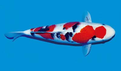 Ikan Koi Taisho Sanke