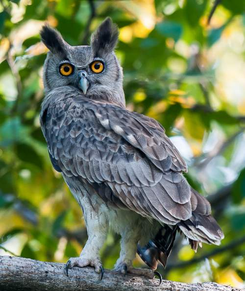 Indian birds - Picture of Dusky eagle-owl - Bubo coromandus