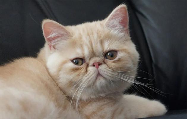 القط الشيرازي الأستوائي
