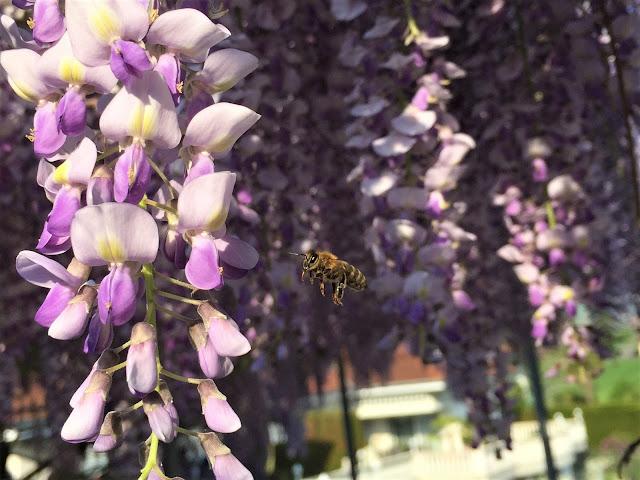 Biene auf Glyzinie
