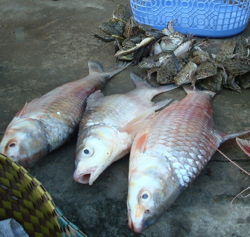 Công thức chọn cá sông tươi để làm chả