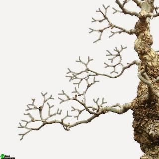 bonsai ramification techniques